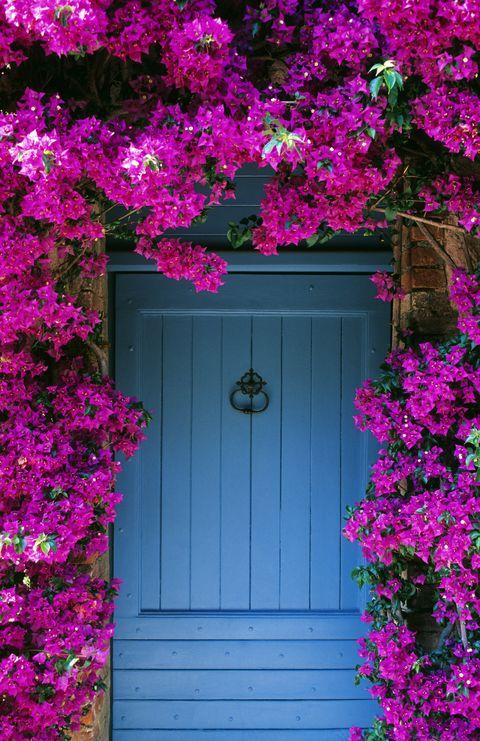 flowering vines bougainvillea
