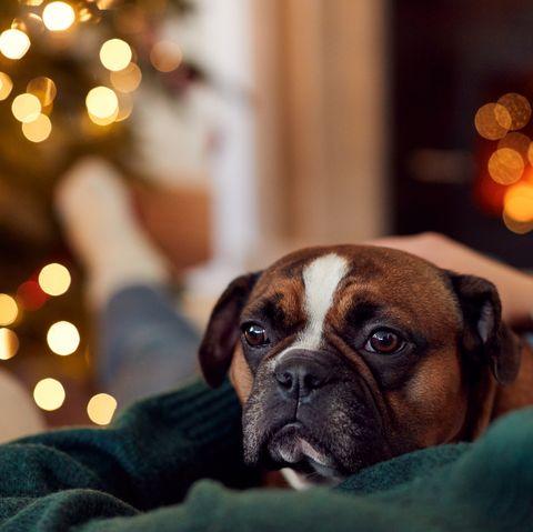 woman cuddling french bulldog at christmas