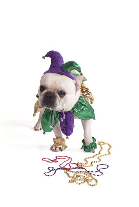 french bulldog jester in green, gold and purple with mardi gras beads