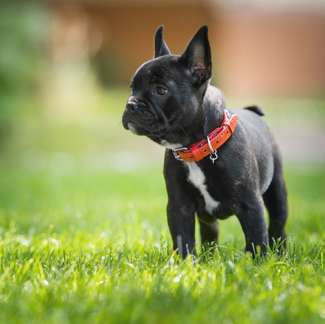 dog owner issues warning after french bulldog dies from heatstroke on walk