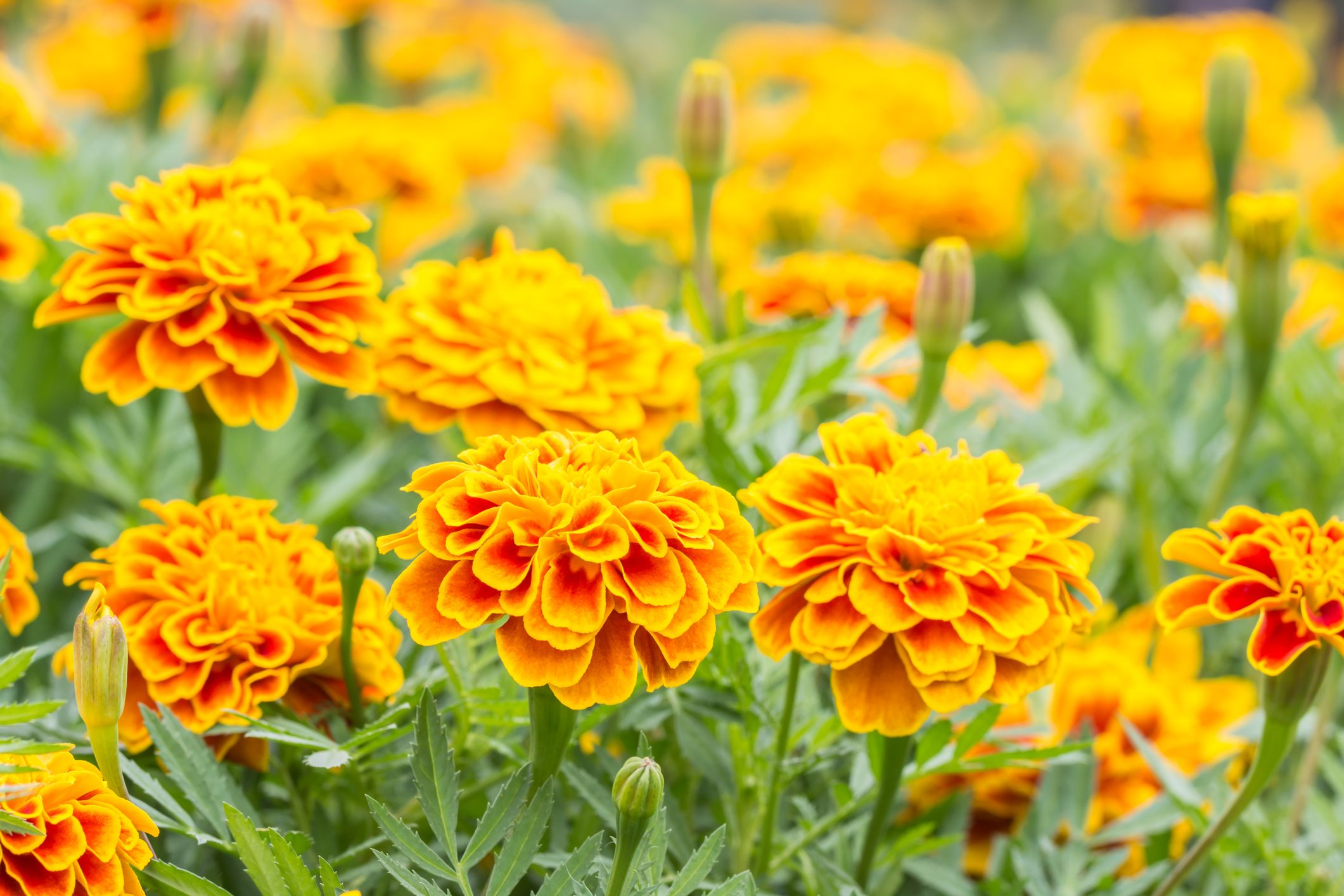 Rumored Buzz on How Long Do Marigold Seeds Take To Grow