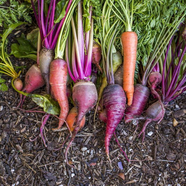 fresh carrots in garden