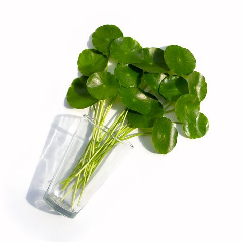 fresh green centella asiatica leaves or water pennywort  plant in glass