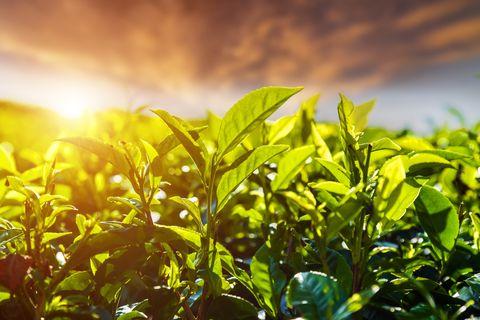 Fresh green tea leaves against the sunset sky background