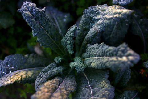 what to grow in november fresh kale in garden