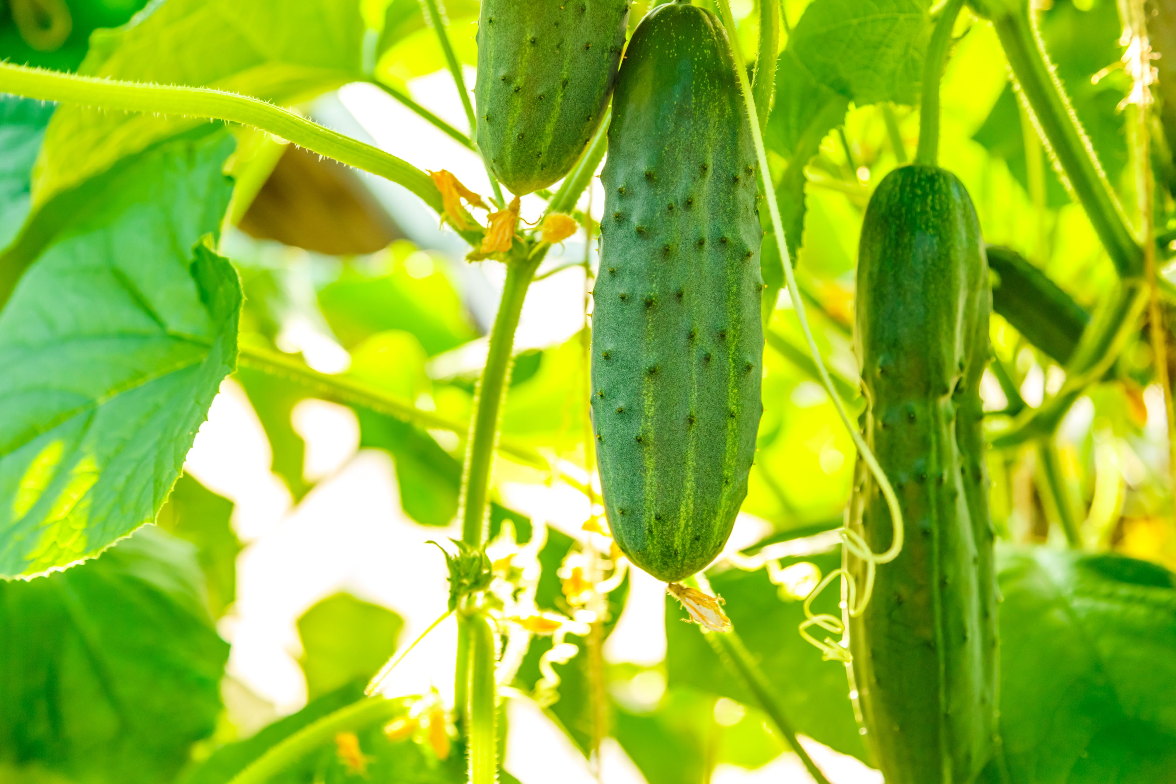 What fertilizers are needed for cucumbers? Fertilizers for cucumbers in open ground and in the greenhouse. Potash, nitrogen, mineral fertilizers for cucumbers 61
