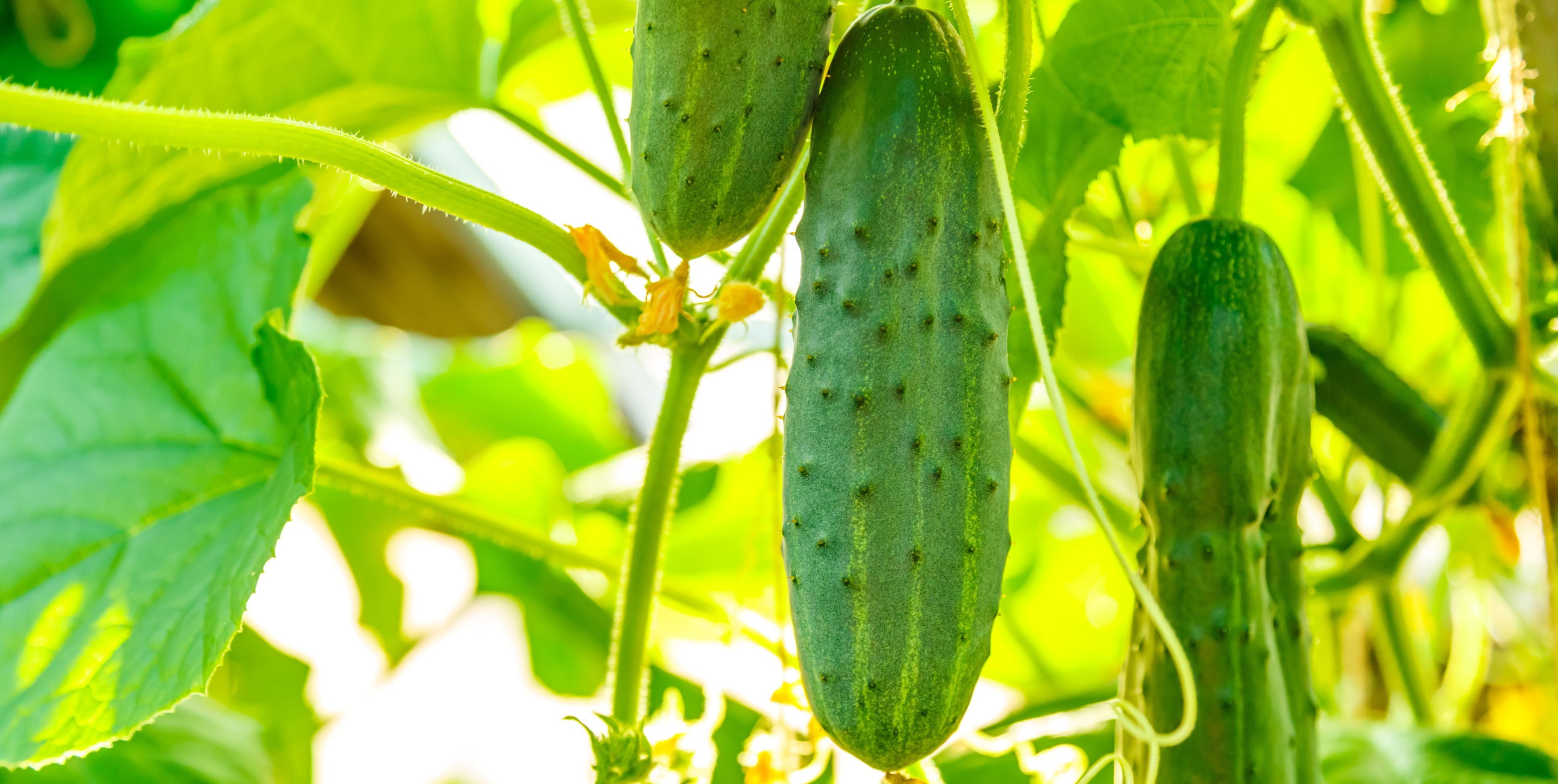 Fresh ripe cucumbers growing in greenhouse