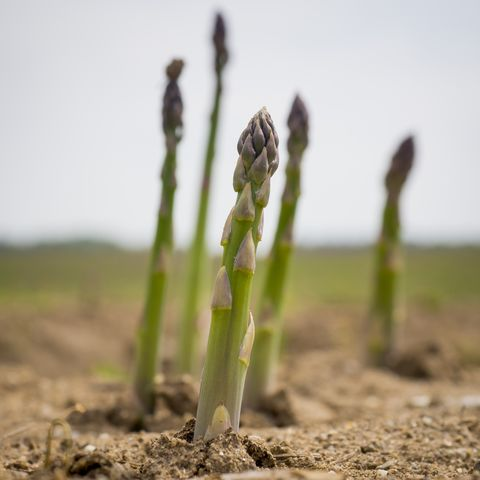 How To Grow Asparagus Tips For Planting Asparagus