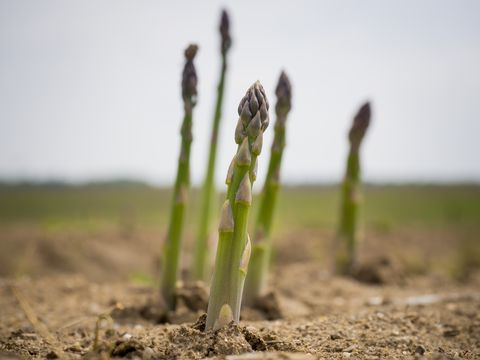Freshly grown asparagus