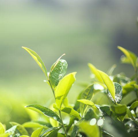 Freshness tea leaves