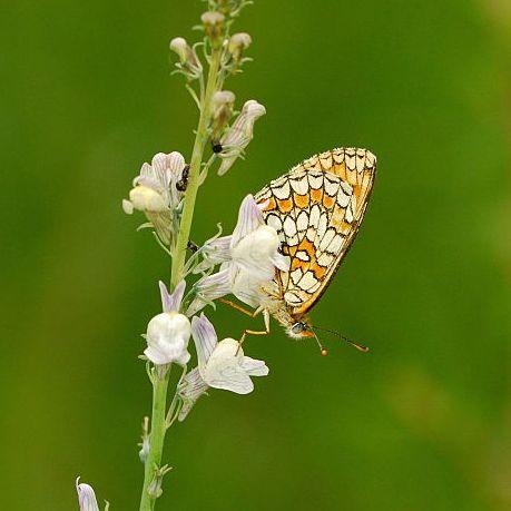 Endangered butterfly
