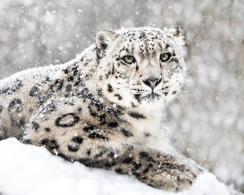 Mammal, Snow leopard, Vertebrate, Felidae, Leopard, Whiskers, Terrestrial animal, Wildlife, Big cats, Snout,