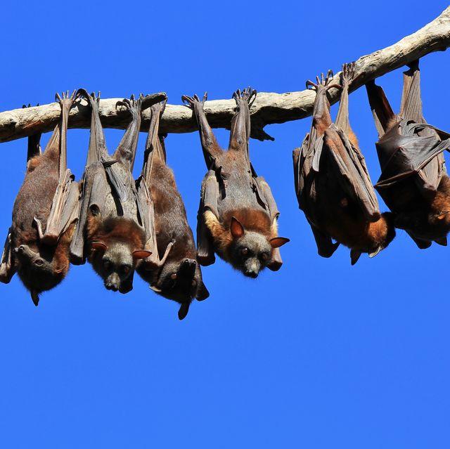 Fruit bats resting on a tree