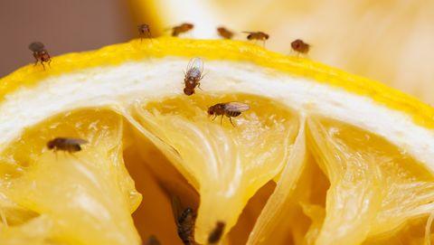 fruitvliegjes op een sinaasappel
