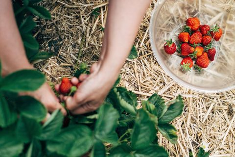 aardbeien plukken in een pluktuin
