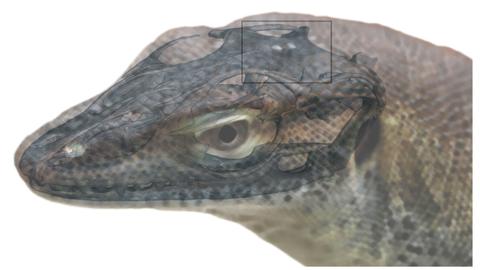 four eyed lizard