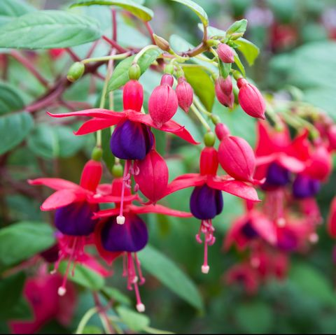 Fuchsia flowers.Beautiful fuchsia flowers in the garden