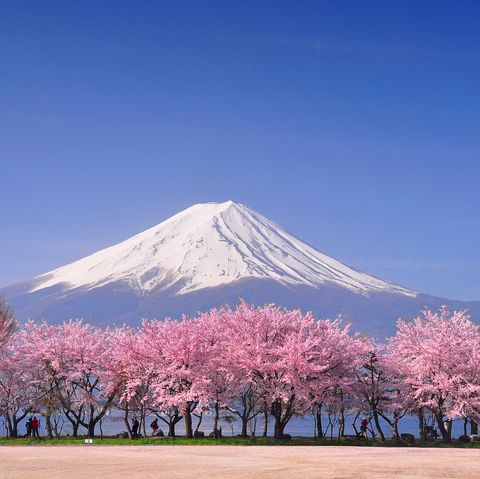 japanese cherry blossom   unusual things to know