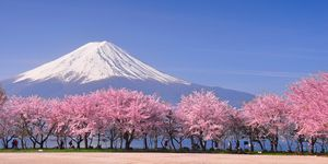 Japanese cherry blossom - unusual things to know