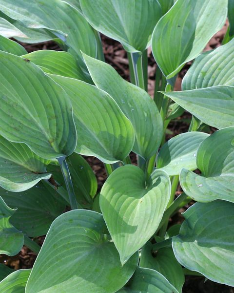 hosta low maintenance flower