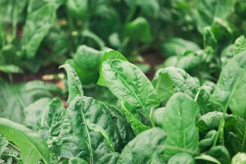 Full Frame Shot Of Spinach Growing In Garden