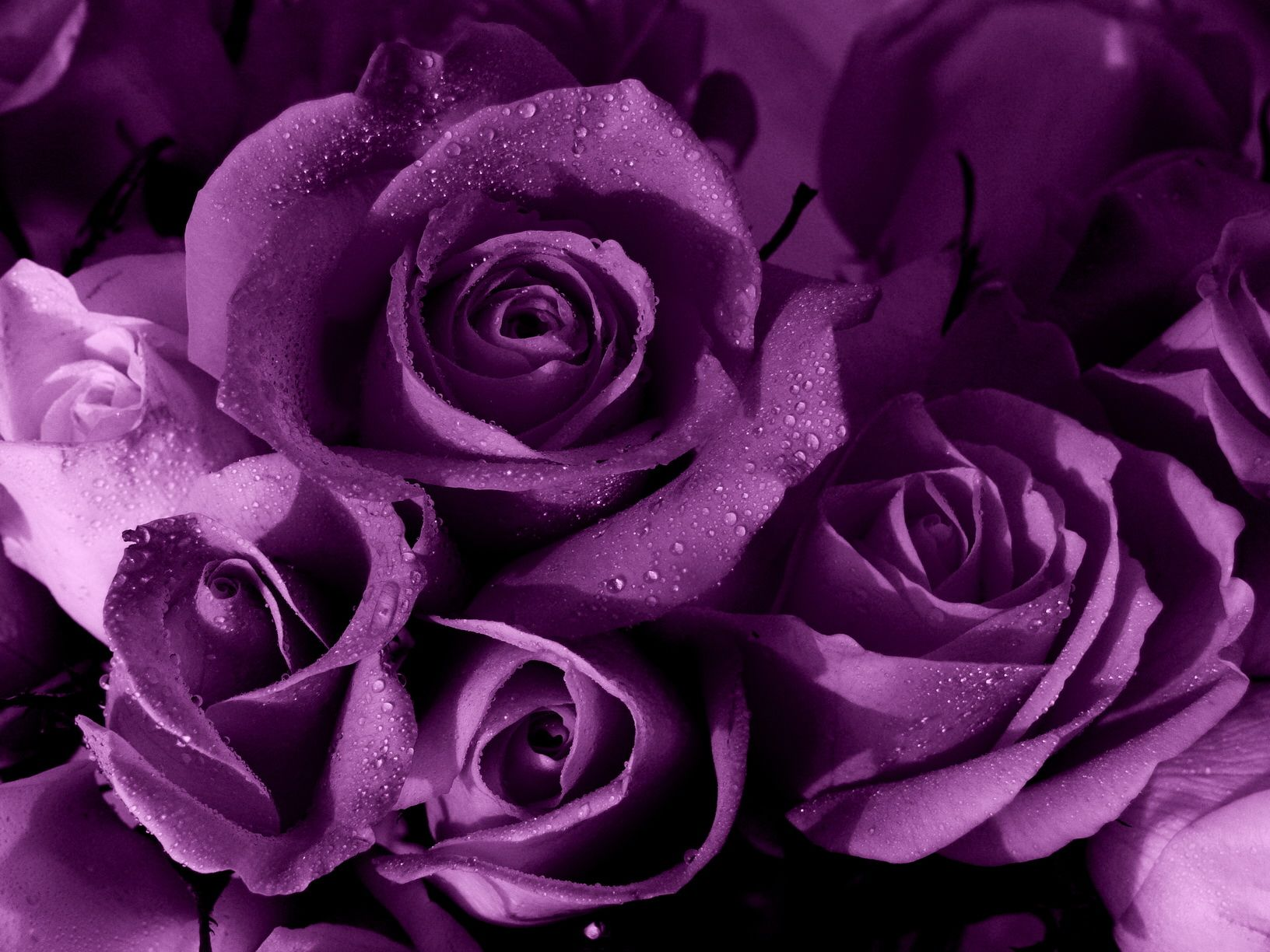 пълно кадър изстрел от мокри лилави рози