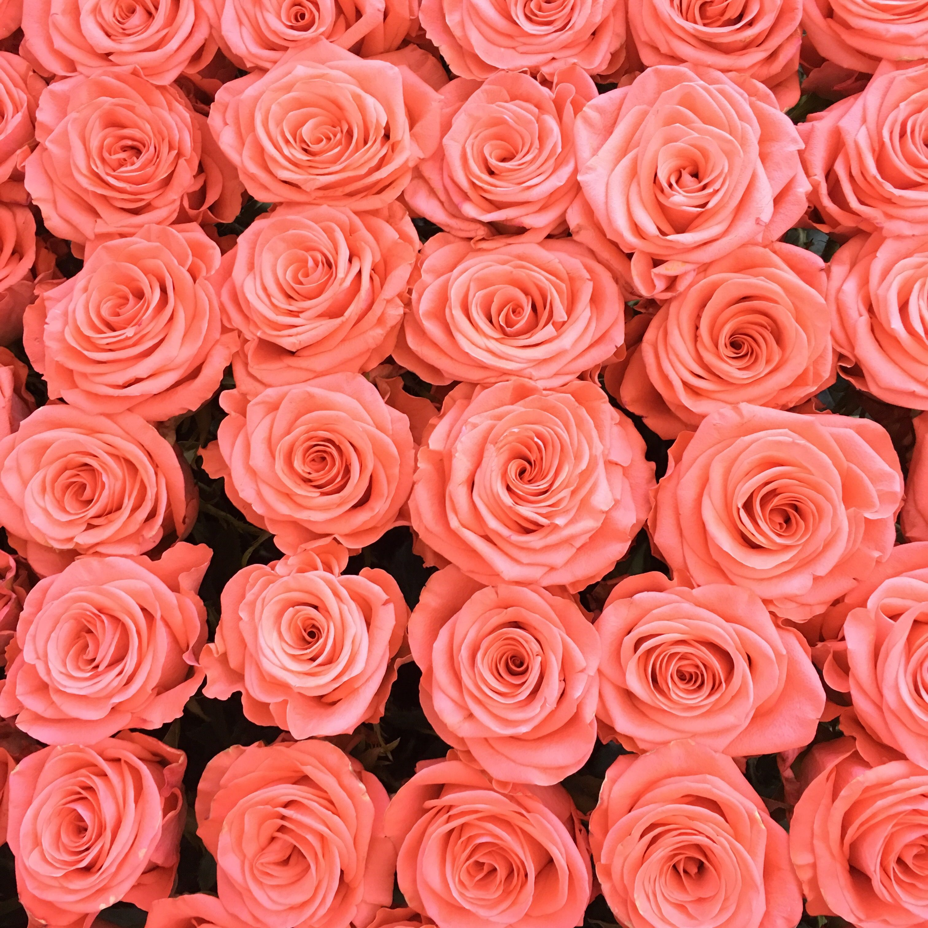 18 Special Rose Color Meanings Rose Flower Meanings For