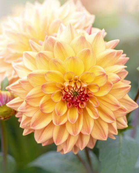 Close-up of Dahlia 'Hamari Gold' flower in soft sunshine