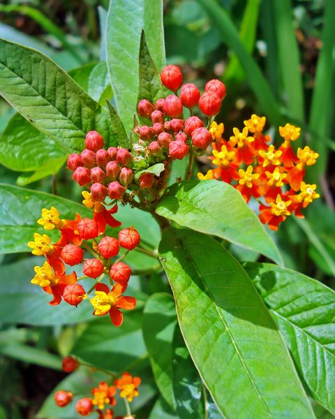 Grouping of Tropical milkweed flowers