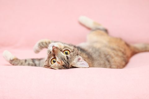 Funny cat playing on pink background
