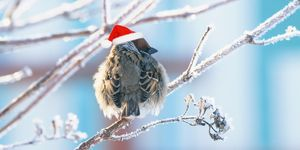 funny fluffy Sparrow in a festive red hat sitting on the branches covered with white fluffy frost in the Christmas Park