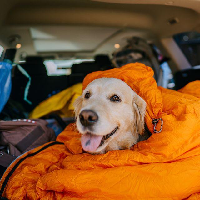 dog sitting in a sleeping bag inside a car trunk