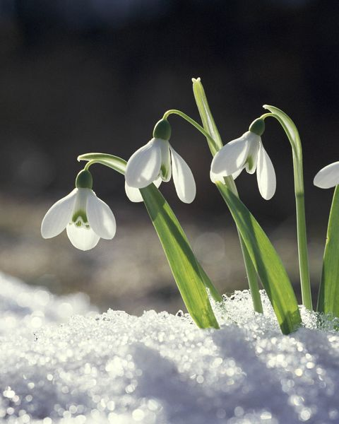 winter flowers snowdrop