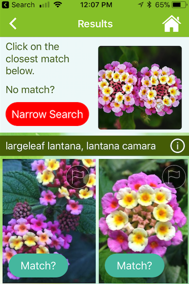 screen shot of lantana plant