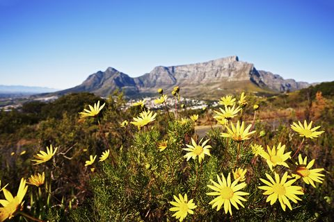 South Africa: Table Mountain with wild daisies in foreground