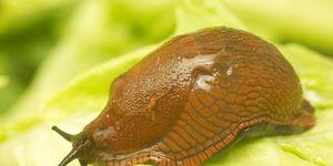 Garden slug, Arion hortensis