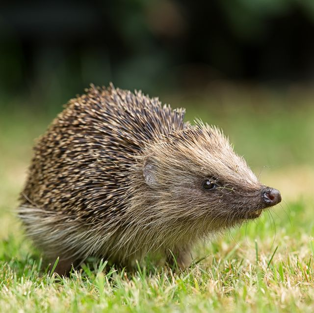 hedgehogs need greater legal protection to stop people selling them, says mp