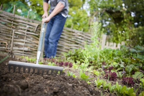 jardinier préparant des lits surélevés avec râteau dans le potager