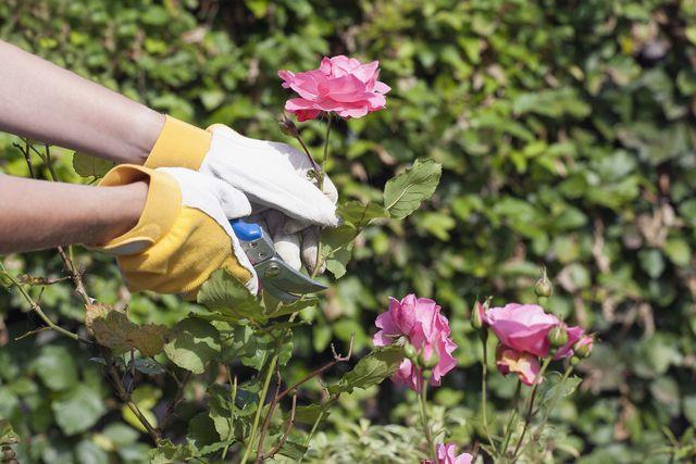 gardening deadhead roses