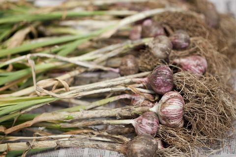 what to grown in november garlic bulbs