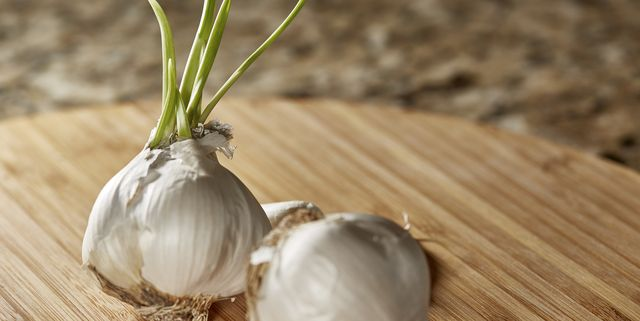garlic bulbs with sprouted live bulb
