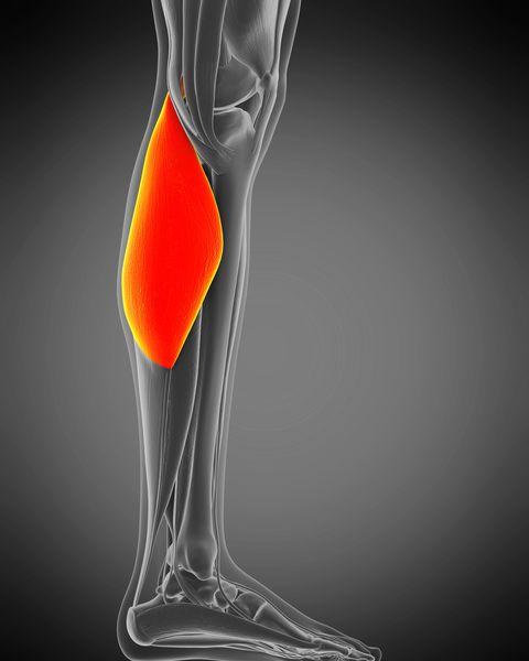 gastrocnemius muscle, illustration