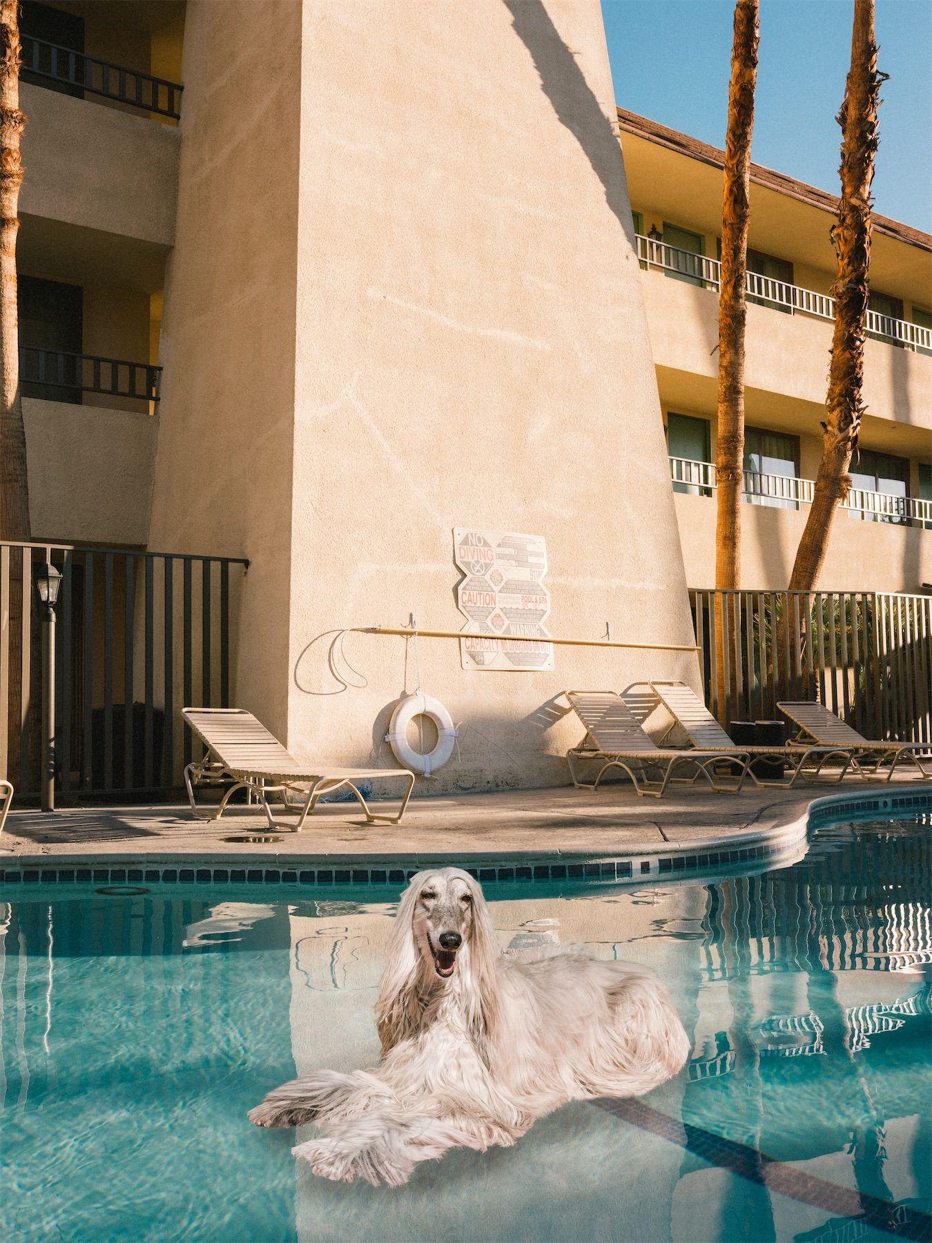I levrieri in piscina a Palm Springs sono il calendario 2020 che non ha bisogno di spiegazioni