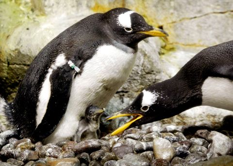 Peguin Hatchlings At Chicago Aquarium