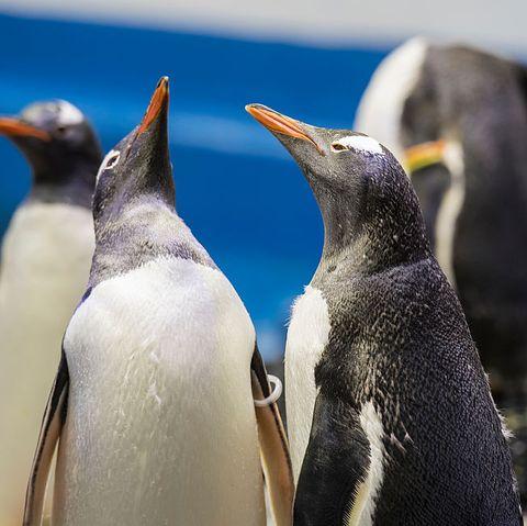 Sydney Aquarium Penguin Experience Launch