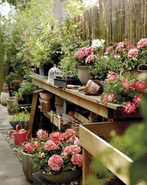 geranios en el jardín
