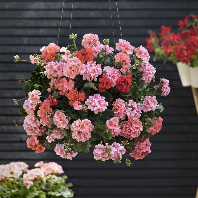 pelargonium geranium flowers