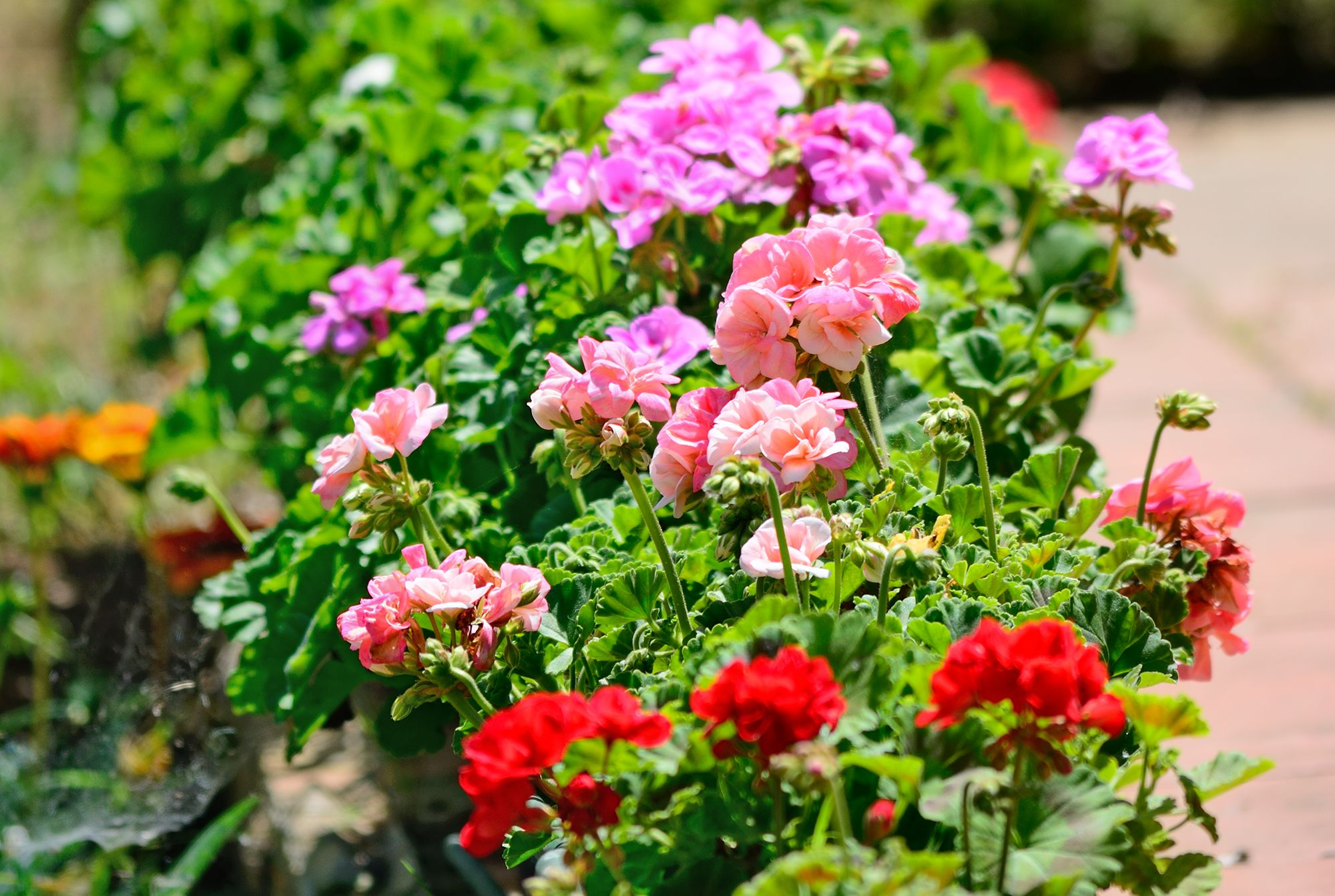 Geraniums in a residential front garden
