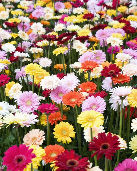 25 Colorful Types Of Daisies Daisy Varieties For Your Garden
