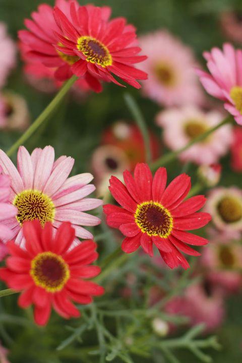 gerbera daisy red flowers